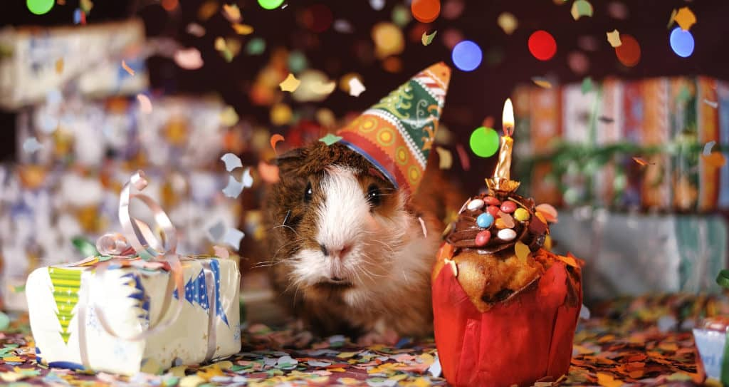a happy guinea pig celebrating a birthday